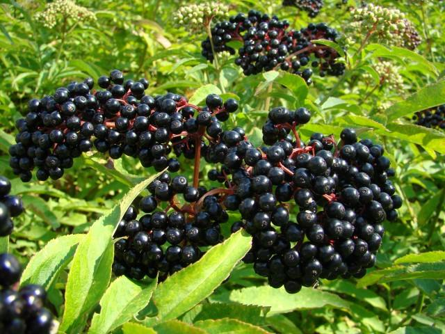 Healthdream | The medicinal value of elderberry extract